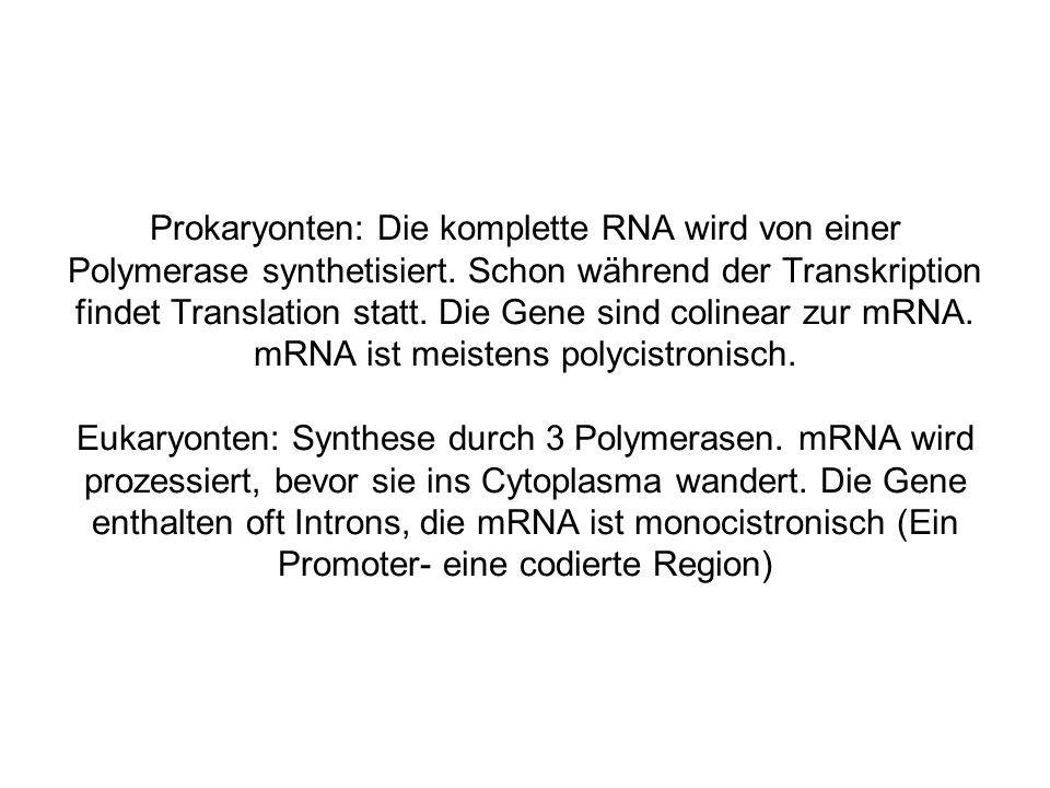 Prokaryonten: Die komplette RNA wird von einer Polymerase synthetisiert.