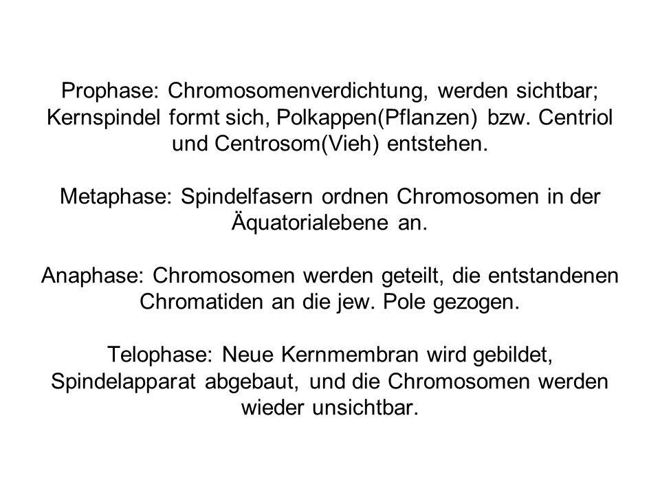 Prophase: Chromosomenverdichtung, werden sichtbar; Kernspindel formt sich, Polkappen(Pflanzen) bzw.
