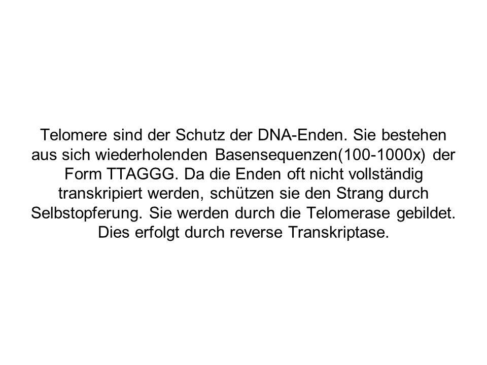 Telomere sind der Schutz der DNA-Enden