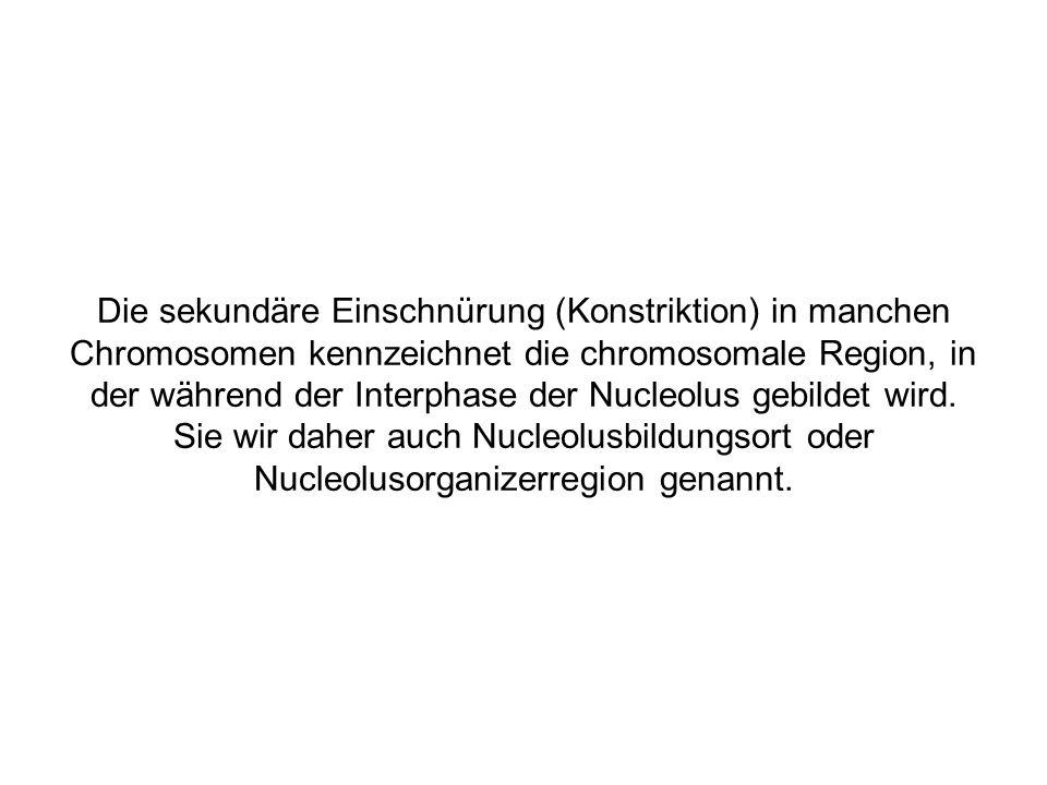 Die sekundäre Einschnürung (Konstriktion) in manchen Chromosomen kennzeichnet die chromosomale Region, in der während der Interphase der Nucleolus gebildet wird.