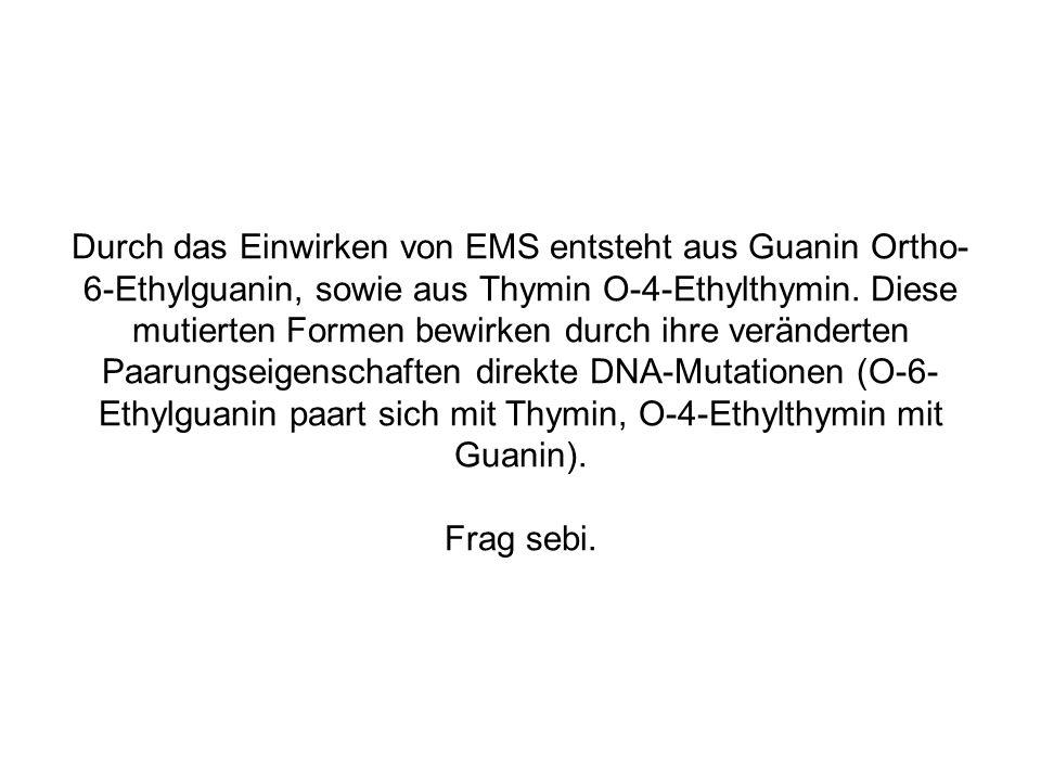 Durch das Einwirken von EMS entsteht aus Guanin Ortho-6-Ethylguanin, sowie aus Thymin O-4-Ethylthymin.