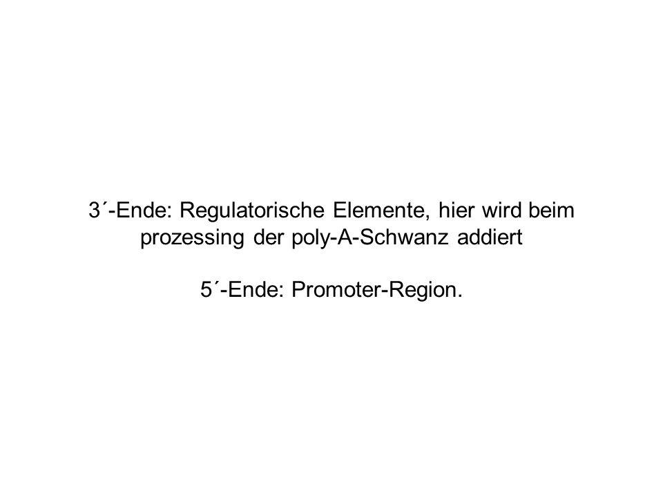 3´-Ende: Regulatorische Elemente, hier wird beim prozessing der poly-A-Schwanz addiert 5´-Ende: Promoter-Region.