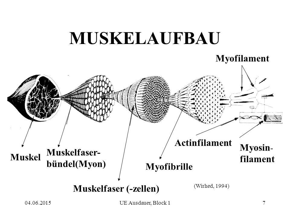 MUSKELAUFBAU Myofilament Actinfilament Myosin-filament