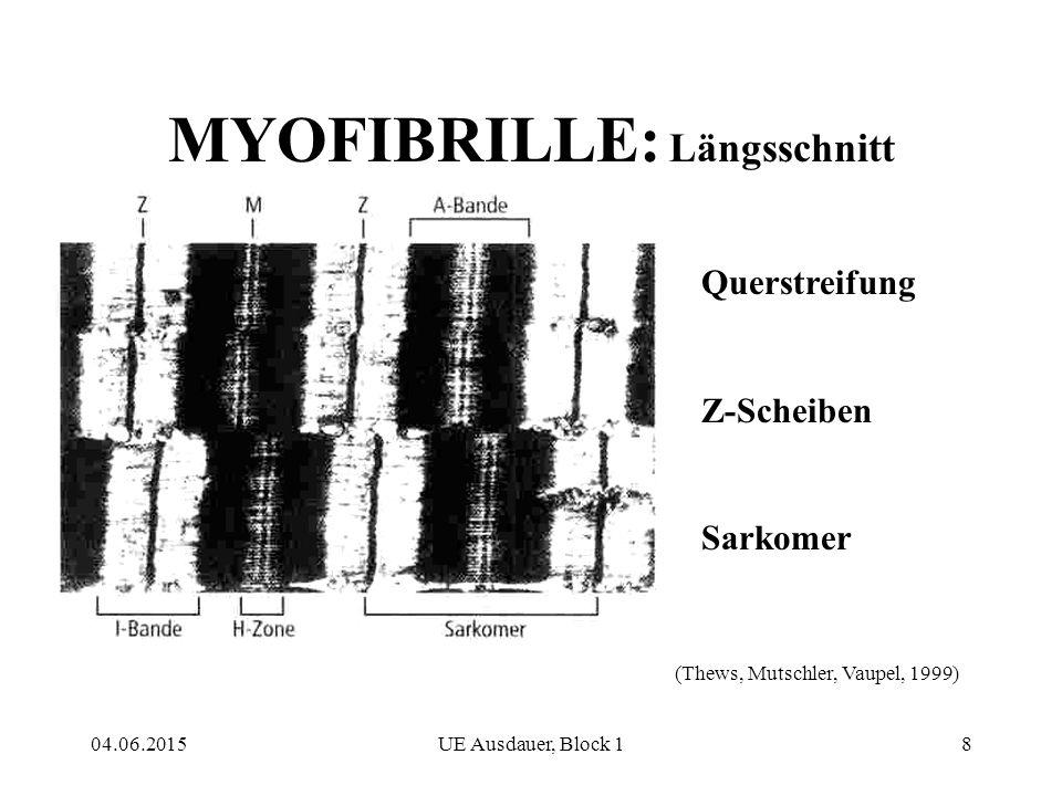 MYOFIBRILLE: Längsschnitt