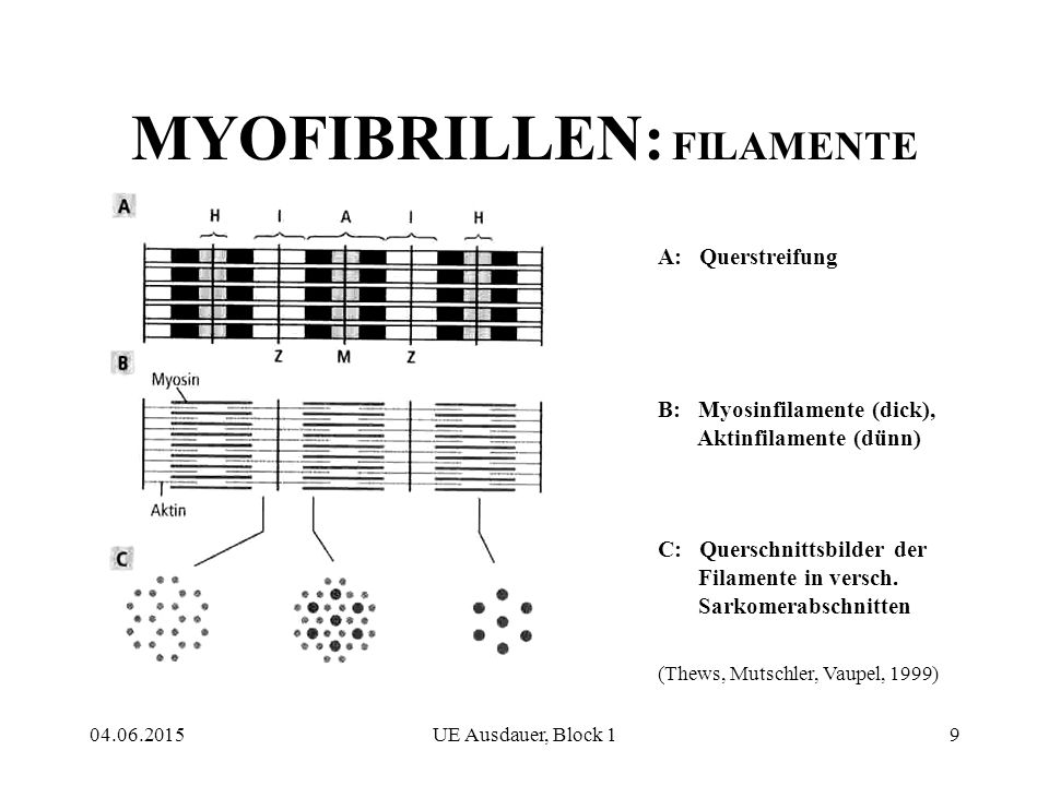 MYOFIBRILLEN: FILAMENTE