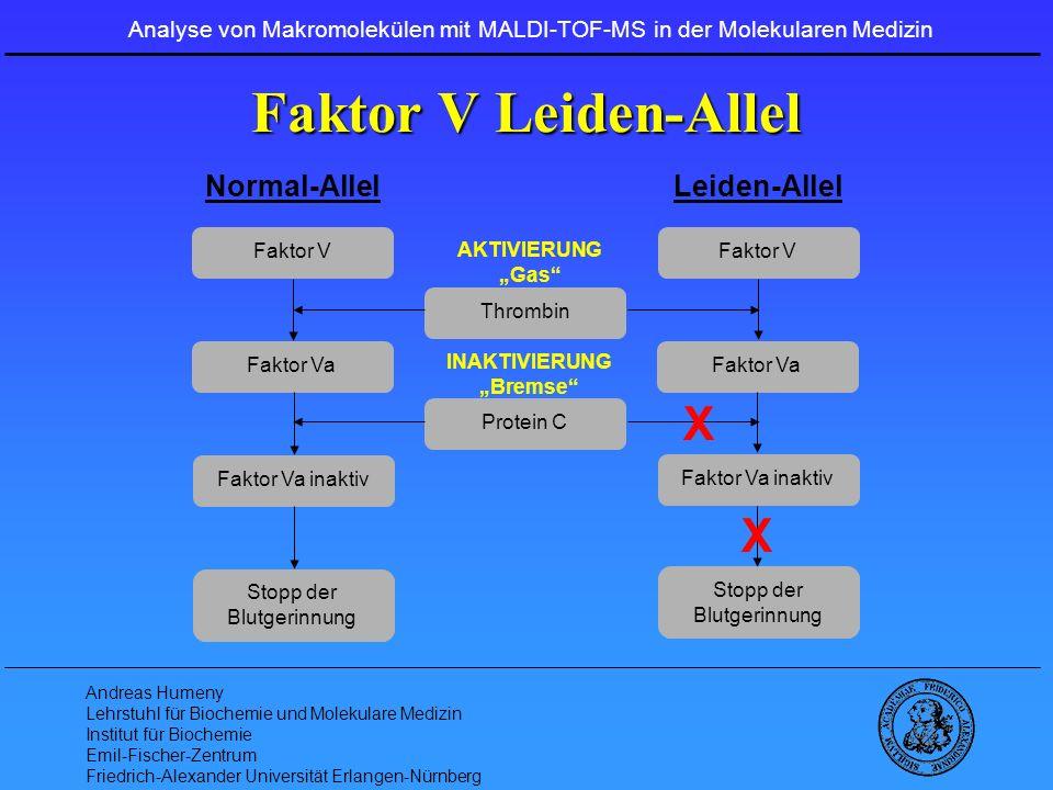 Faktor V Leiden-Allel X X Normal-Allel Leiden-Allel