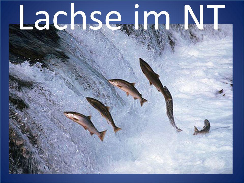 Lachse im NT