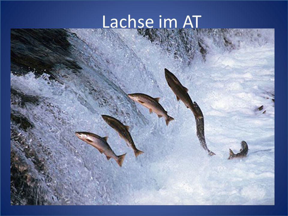 Lachse im AT