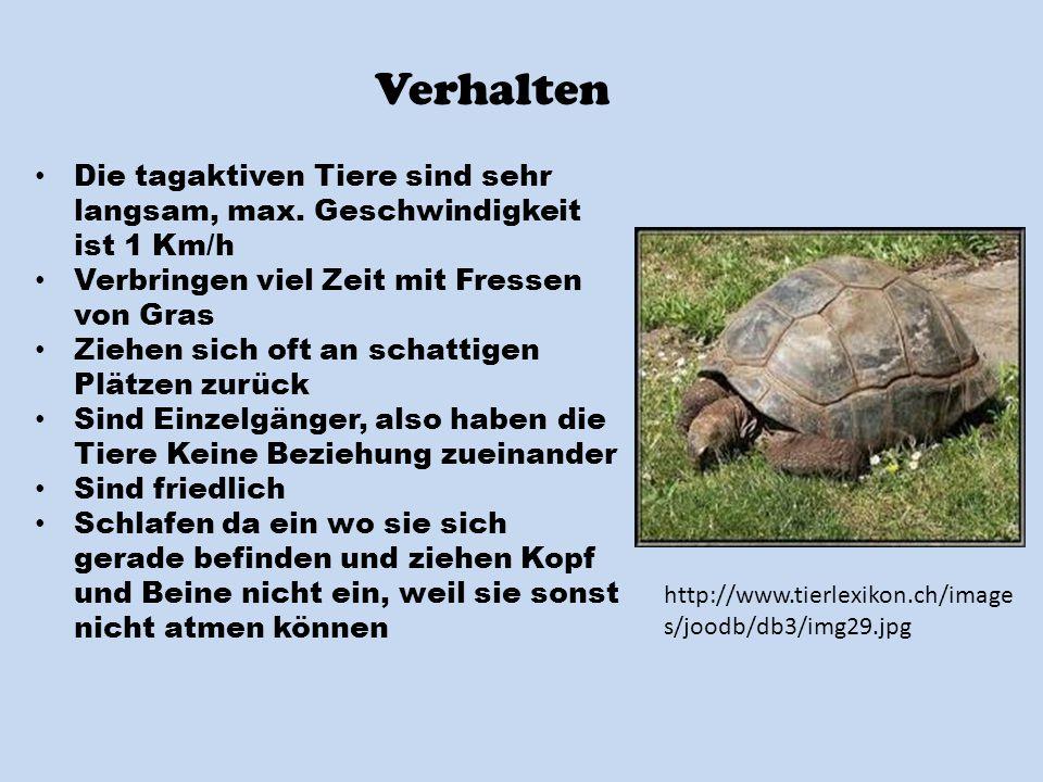 Verhalten Die tagaktiven Tiere sind sehr langsam, max. Geschwindigkeit ist 1 Km/h. Verbringen viel Zeit mit Fressen von Gras.