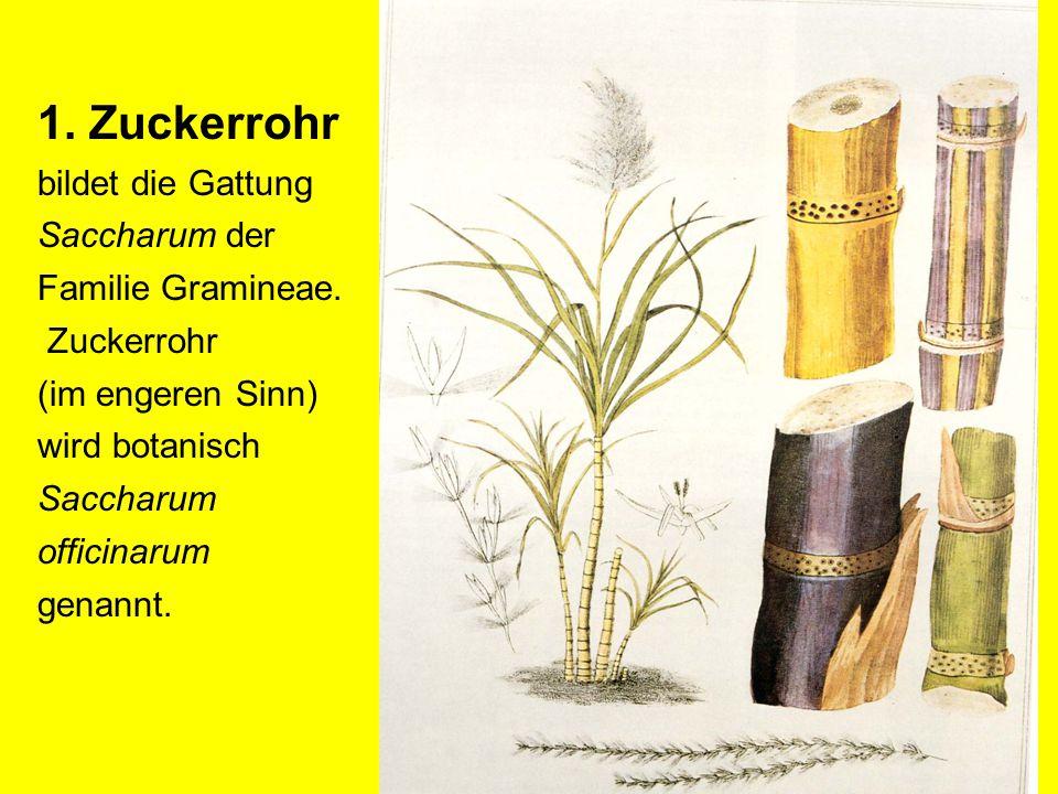 1. Zuckerrohr bildet die Gattung Saccharum der Familie Gramineae.