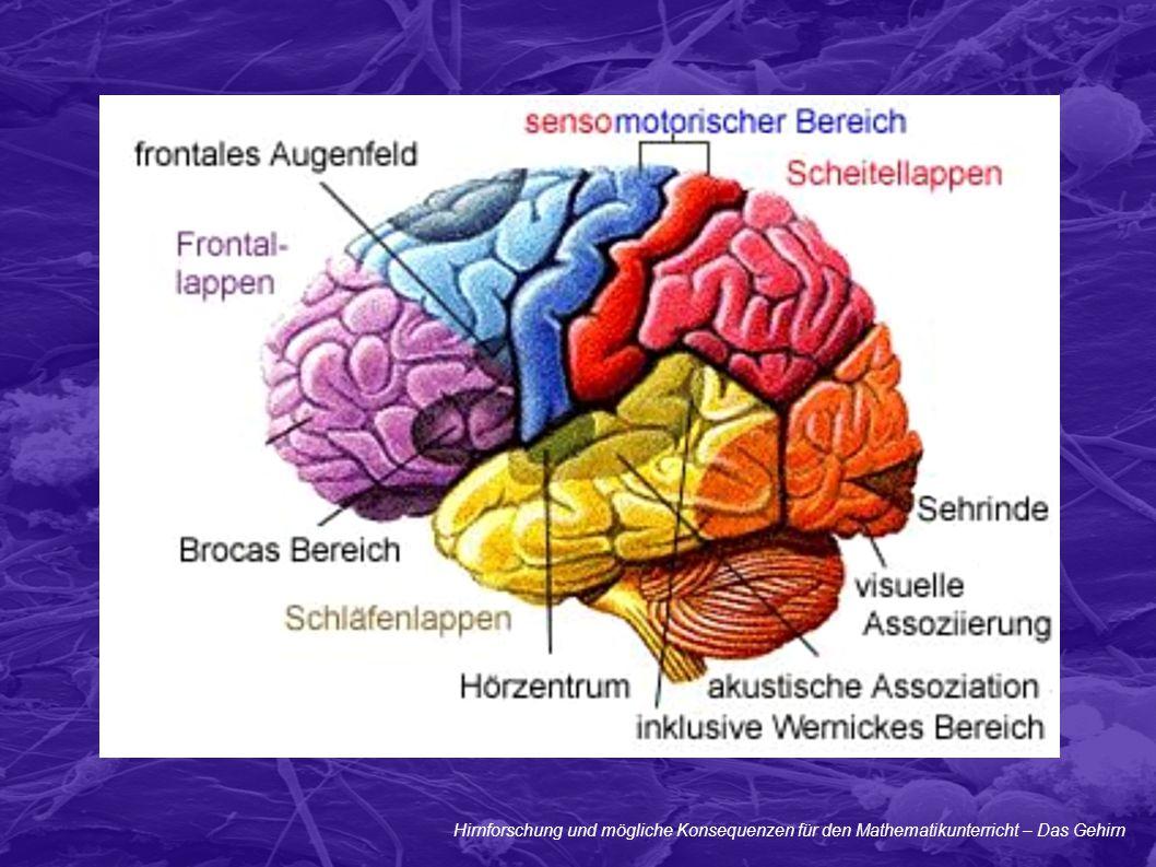 Hirnforschung und mögliche Konsequenzen für den Mathematikunterricht – Das Gehirn