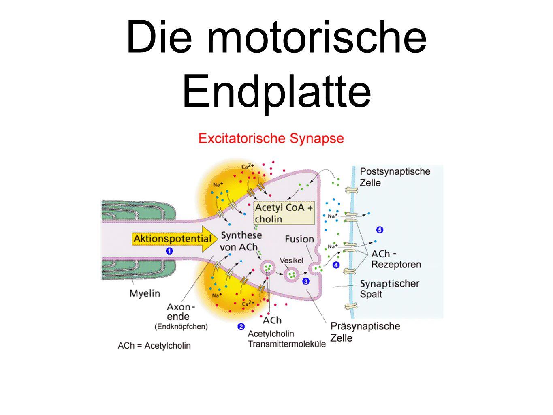 Die motorische Endplatte