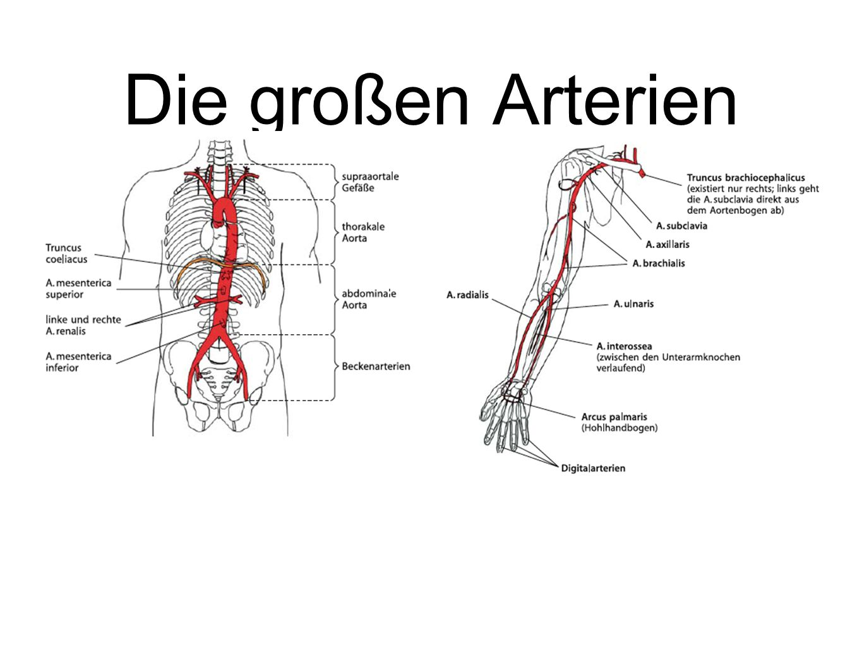 Die großen Arterien