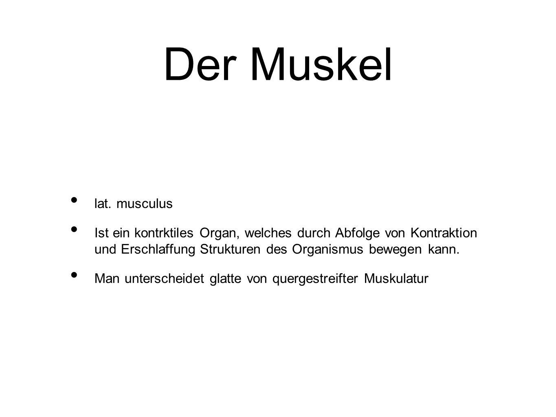 Der Muskel lat. musculus