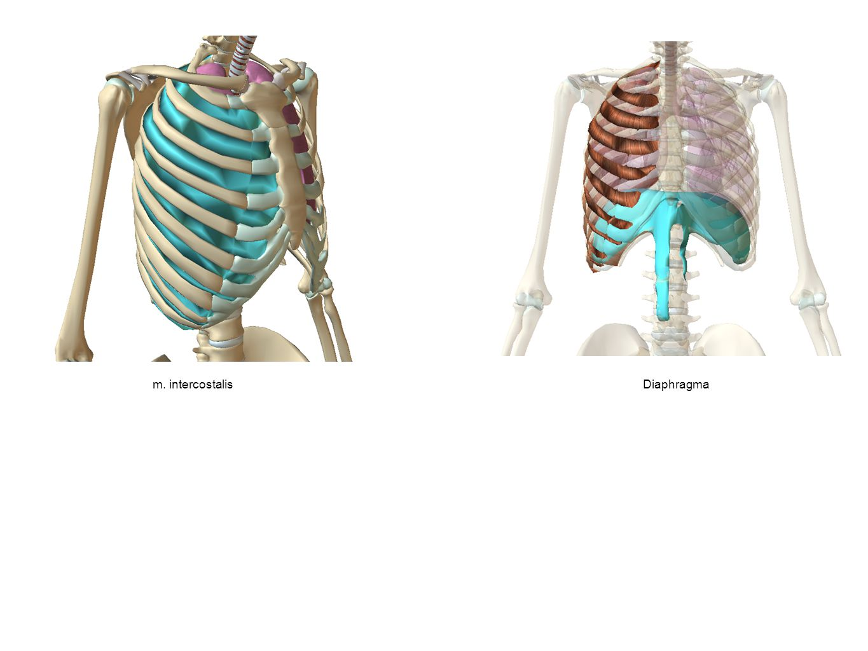 m. intercostalis Diaphragma