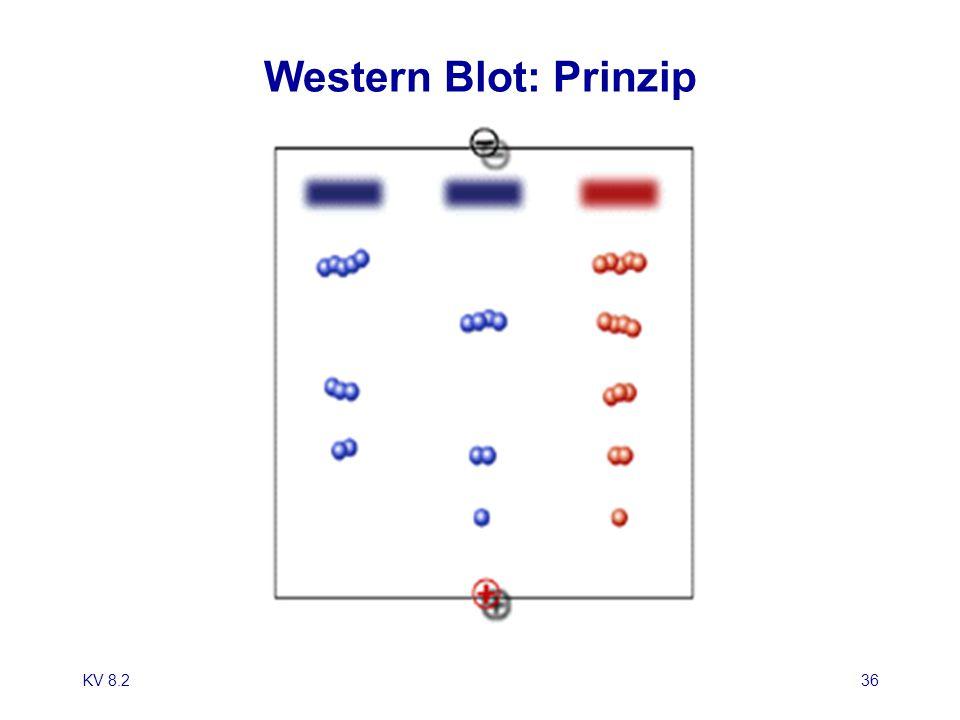Western Blot: Prinzip KV 8.2