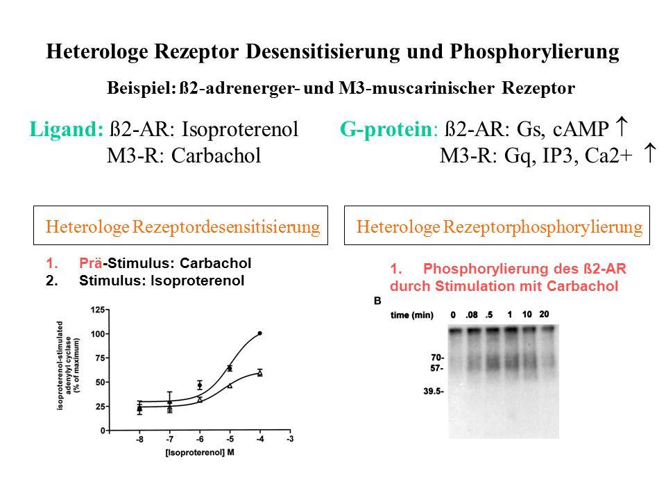 Heterologe Rezeptor Desensitisierung und Phosphorylierung