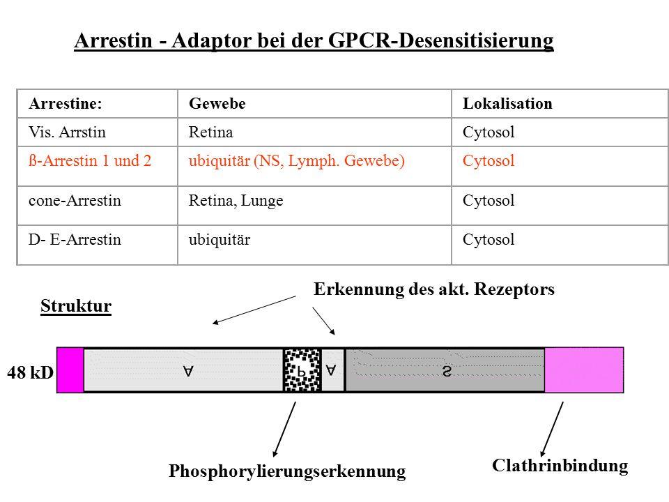 Arrestin - Adaptor bei der GPCR-Desensitisierung