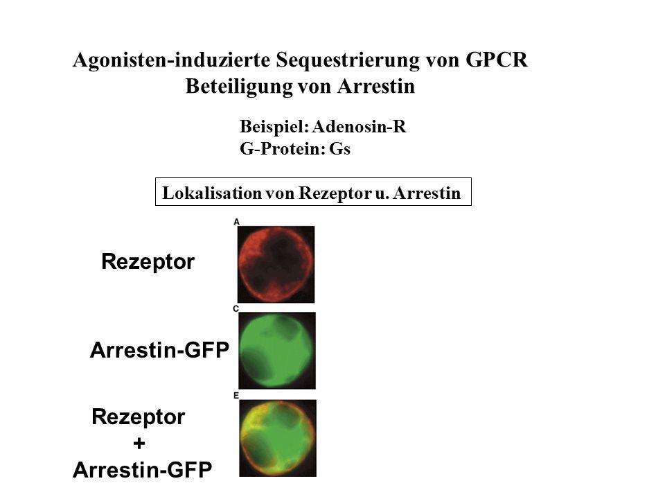 Agonisten-induzierte Sequestrierung von GPCR Beteiligung von Arrestin