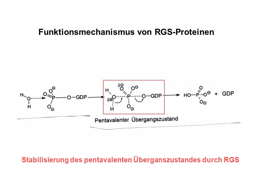 Funktionsmechanismus von RGS-Proteinen