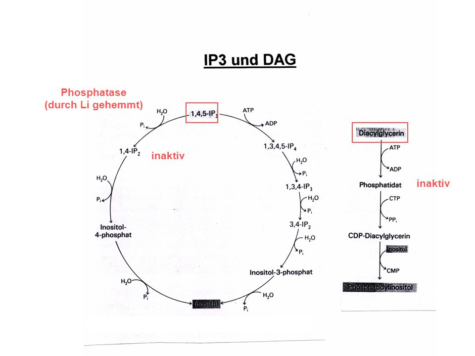 Phosphatase (durch Li gehemmt) inaktiv inaktiv