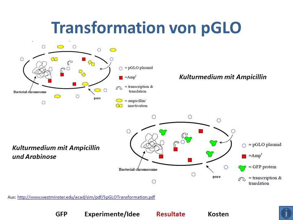 Transformation von pGLO