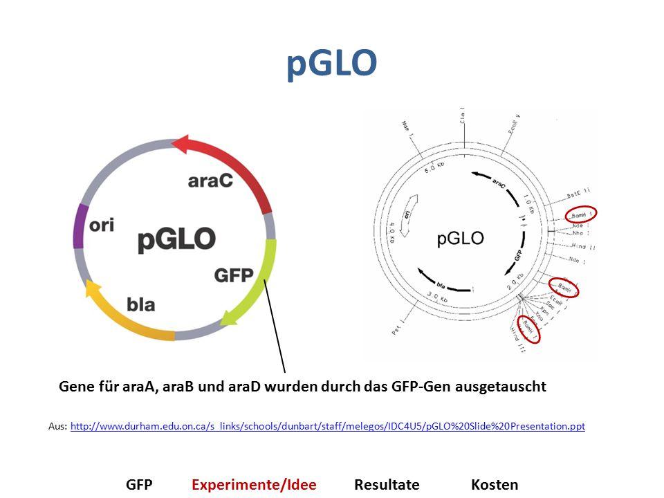 pGLO Gene für araA, araB und araD wurden durch das GFP-Gen ausgetauscht.