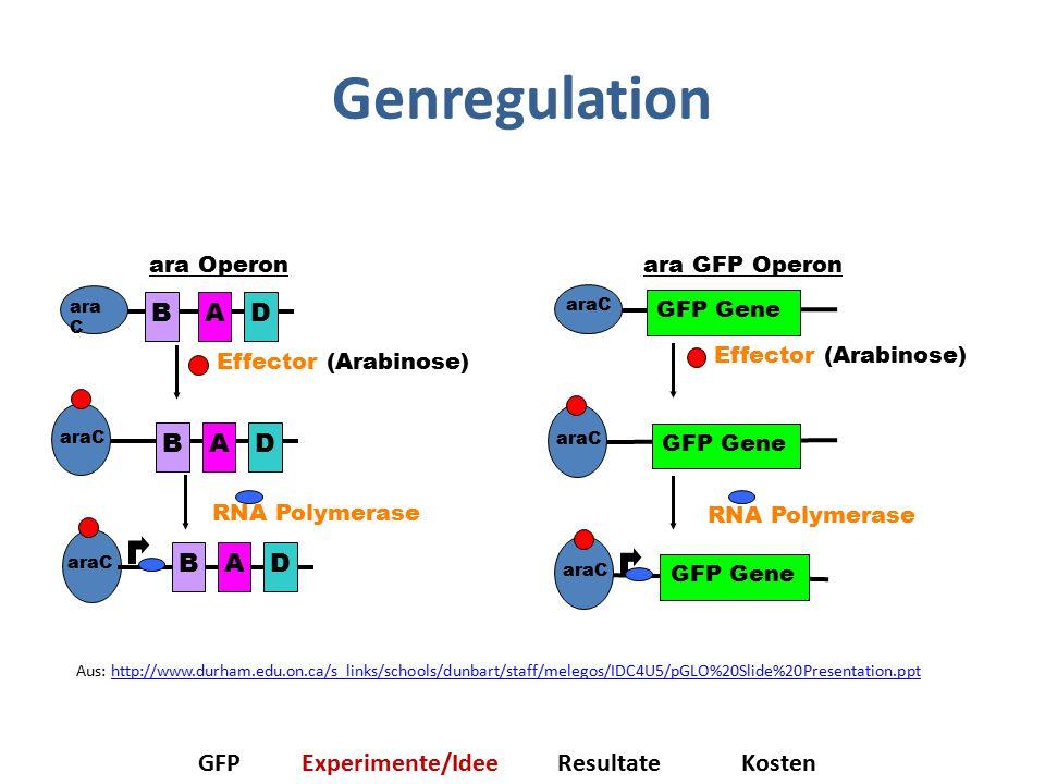 Genregulation B A D GFP Experimente/Idee Resultate Kosten ara Operon