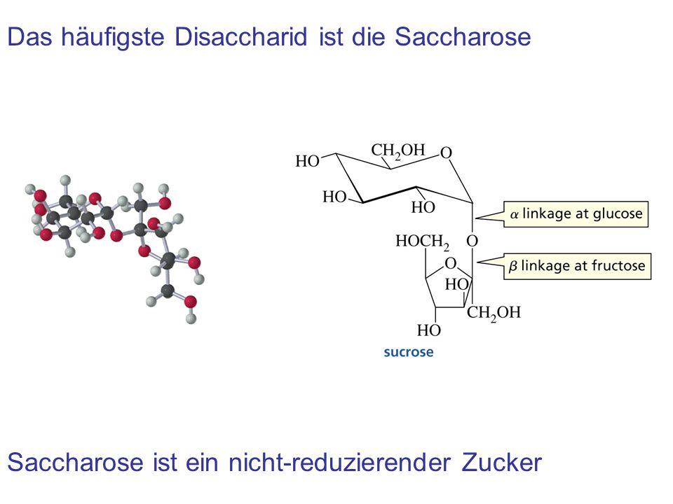 Das häufigste Disaccharid ist die Saccharose