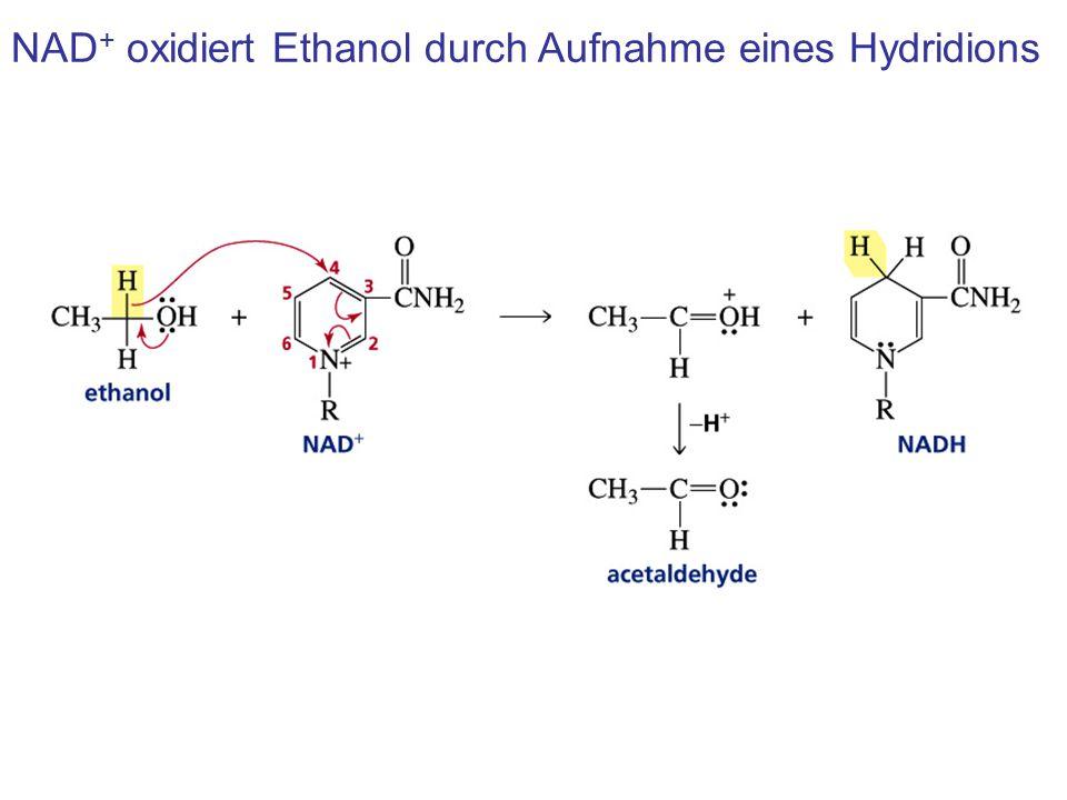 NAD+ oxidiert Ethanol durch Aufnahme eines Hydridions