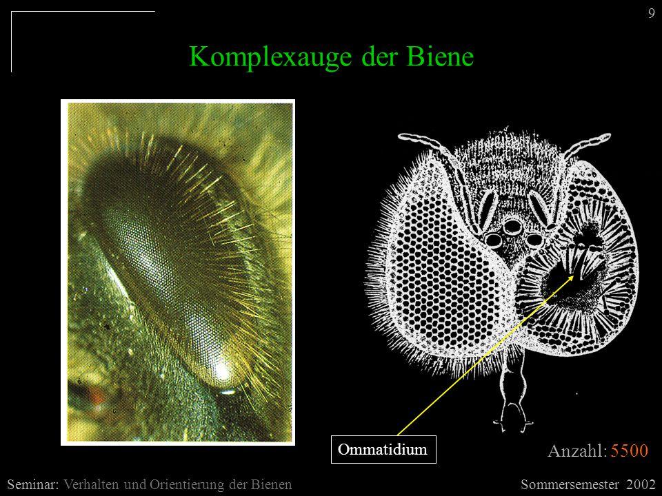 Komplexauge der Biene Anzahl: 5500 Ommatidium 9