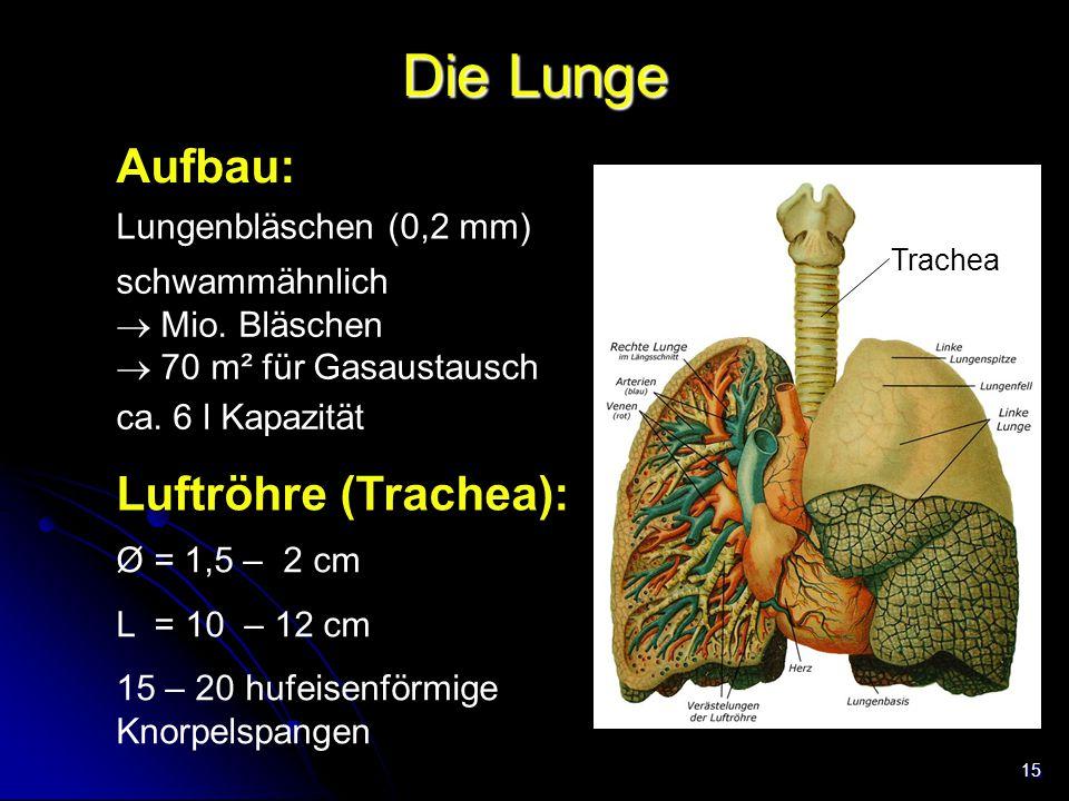 Die Lunge Aufbau: Luftröhre (Trachea): Lungenbläschen (0,2 mm)