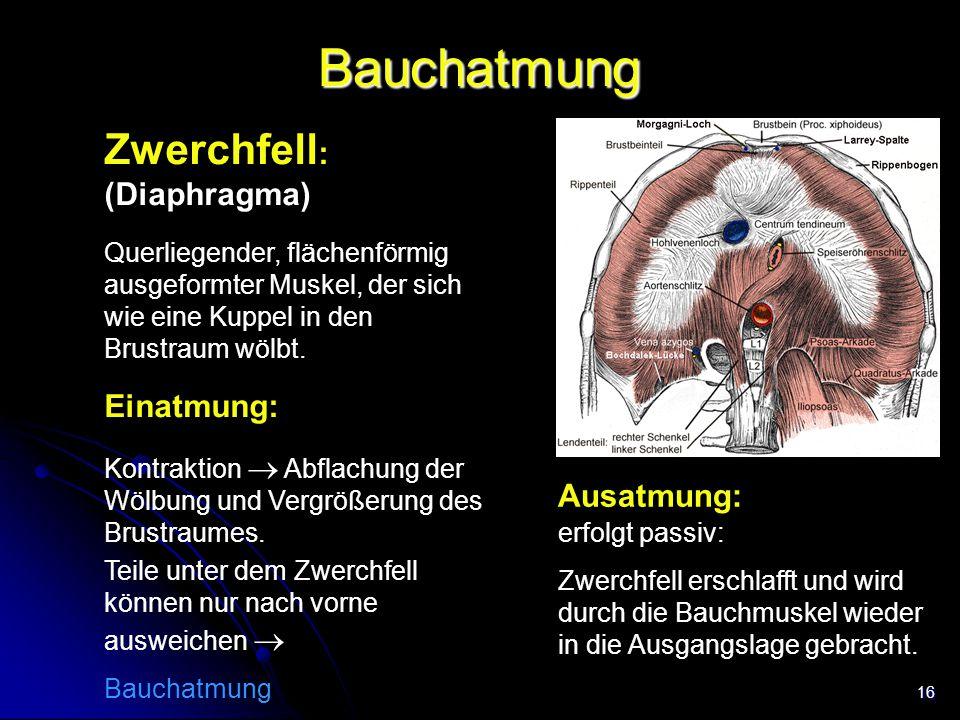 Bauchatmung Zwerchfell: (Diaphragma) Einatmung: Ausatmung: Trachea