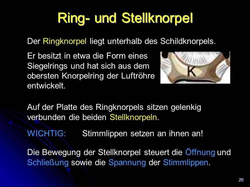 Ring- und Stellknorpel