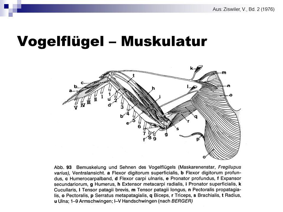 Vogelflügel – Muskulatur