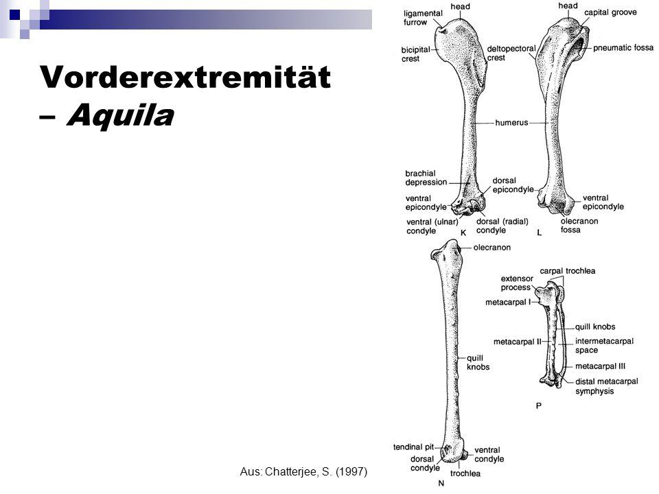 Vorderextremität – Aquila