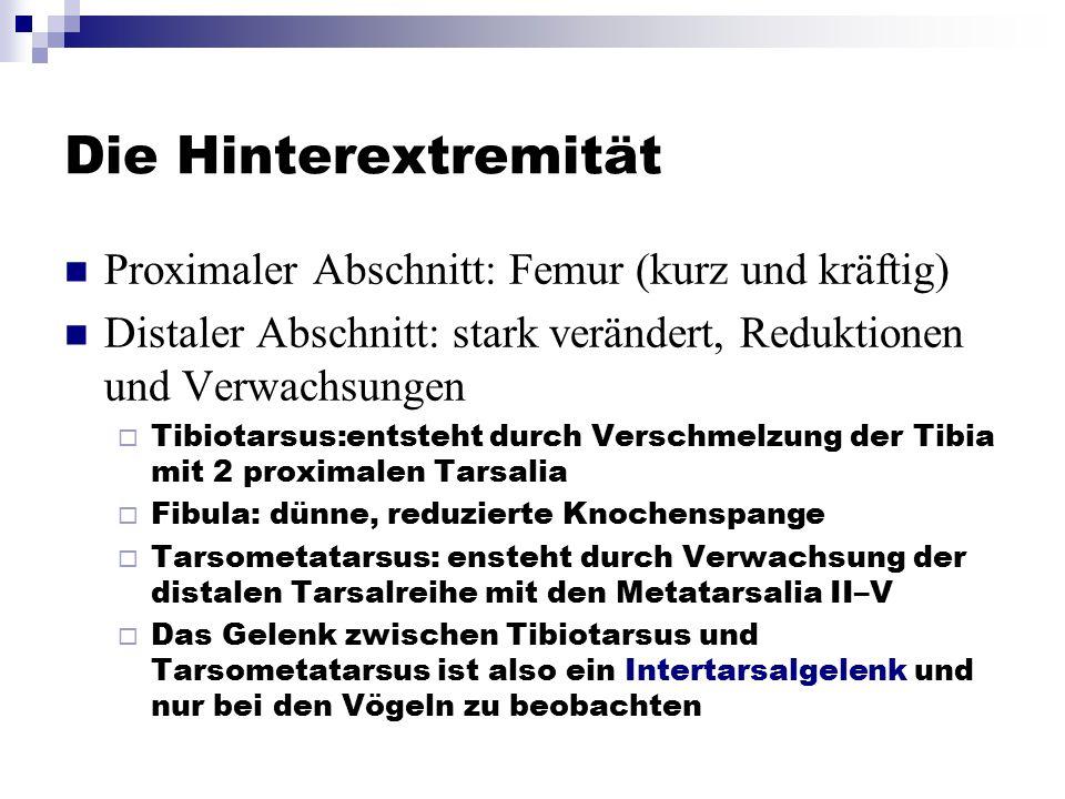 Die Hinterextremität Proximaler Abschnitt: Femur (kurz und kräftig)