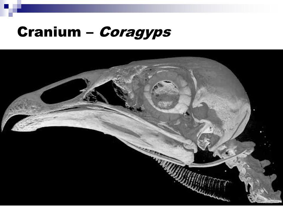 Cranium – Coragyps