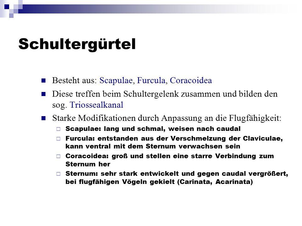 Schultergürtel Besteht aus: Scapulae, Furcula, Coracoidea
