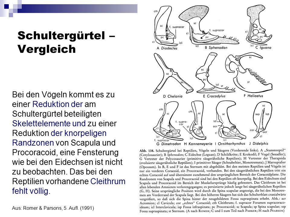 Schultergürtel – Vergleich