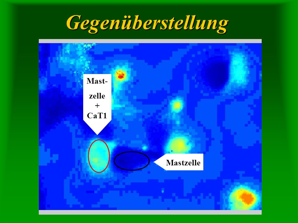Gegenüberstellung Mast- zelle + CaT1 Mastzelle