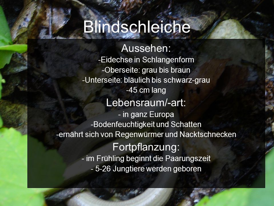 Blindschleiche Aussehen: Lebensraum/-art: Fortpflanzung: