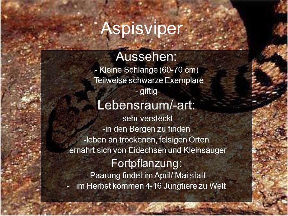 Aspisviper Aussehen: Lebensraum/-art: Fortpflanzung: