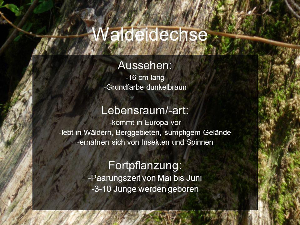 Waldeidechse Aussehen: Lebensraum/-art: Fortpflanzung: