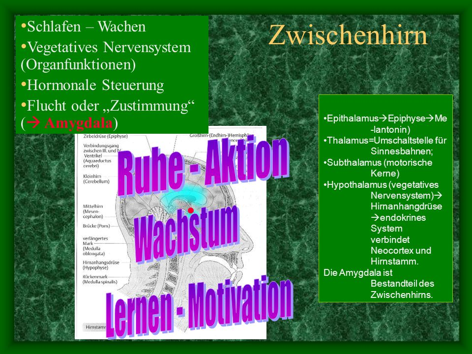 Zwischenhirn Ruhe - Aktion Wachstum Lernen - Motivation