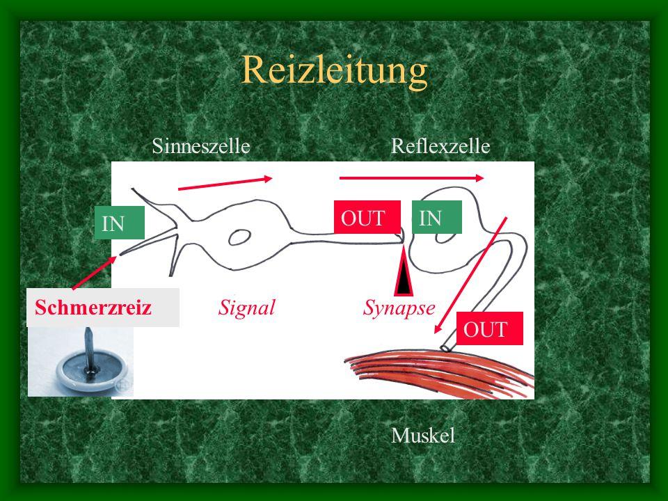 Reizleitung Sinneszelle Reflexzelle OUT IN IN Schmerzreiz Signal