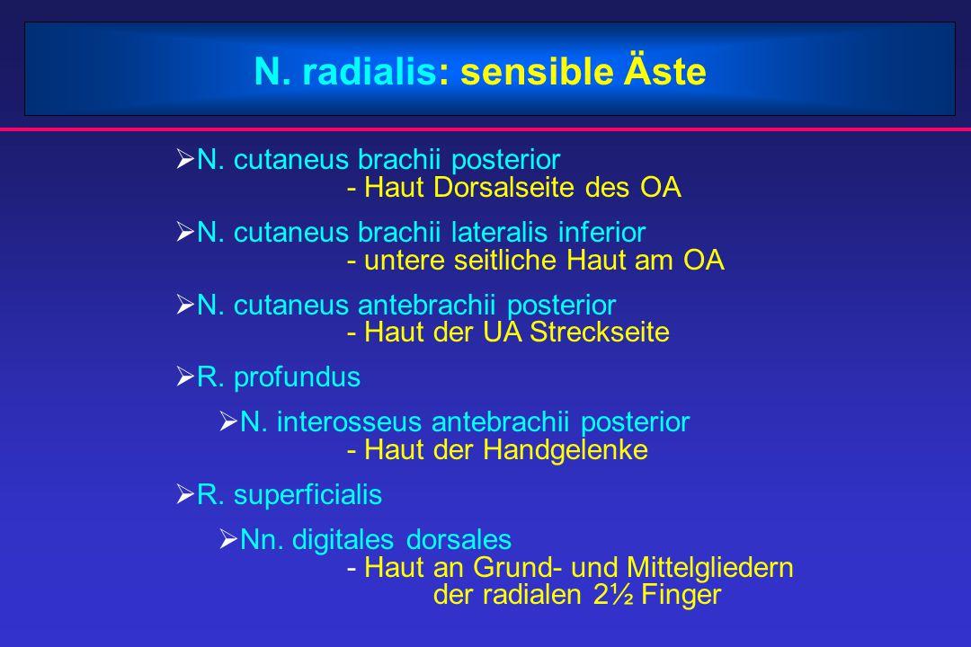 N. radialis: sensible Äste