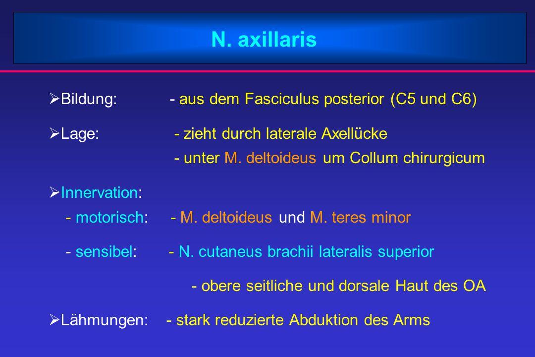 N. axillaris Bildung: - aus dem Fasciculus posterior (C5 und C6)