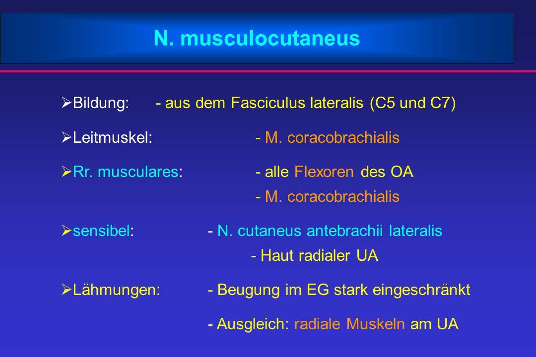 N. musculocutaneus Bildung: - aus dem Fasciculus lateralis (C5 und C7)