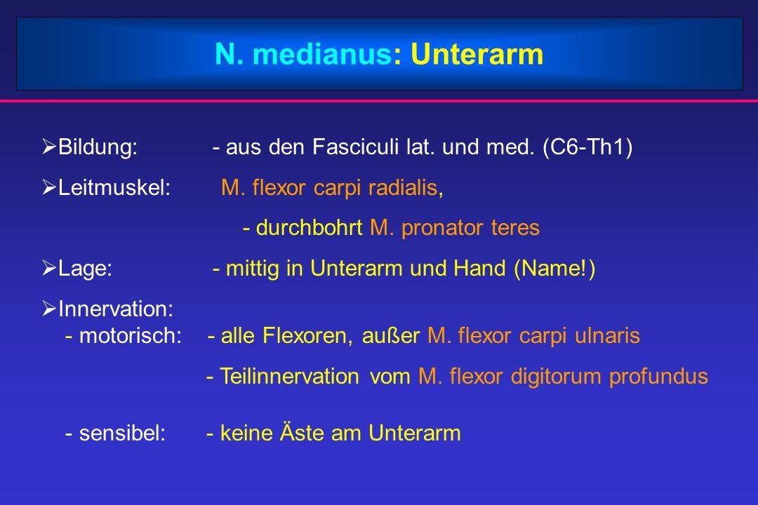 N. medianus: Unterarm Bildung: - aus den Fasciculi lat. und med. (C6-Th1) Leitmuskel: M. flexor carpi radialis,